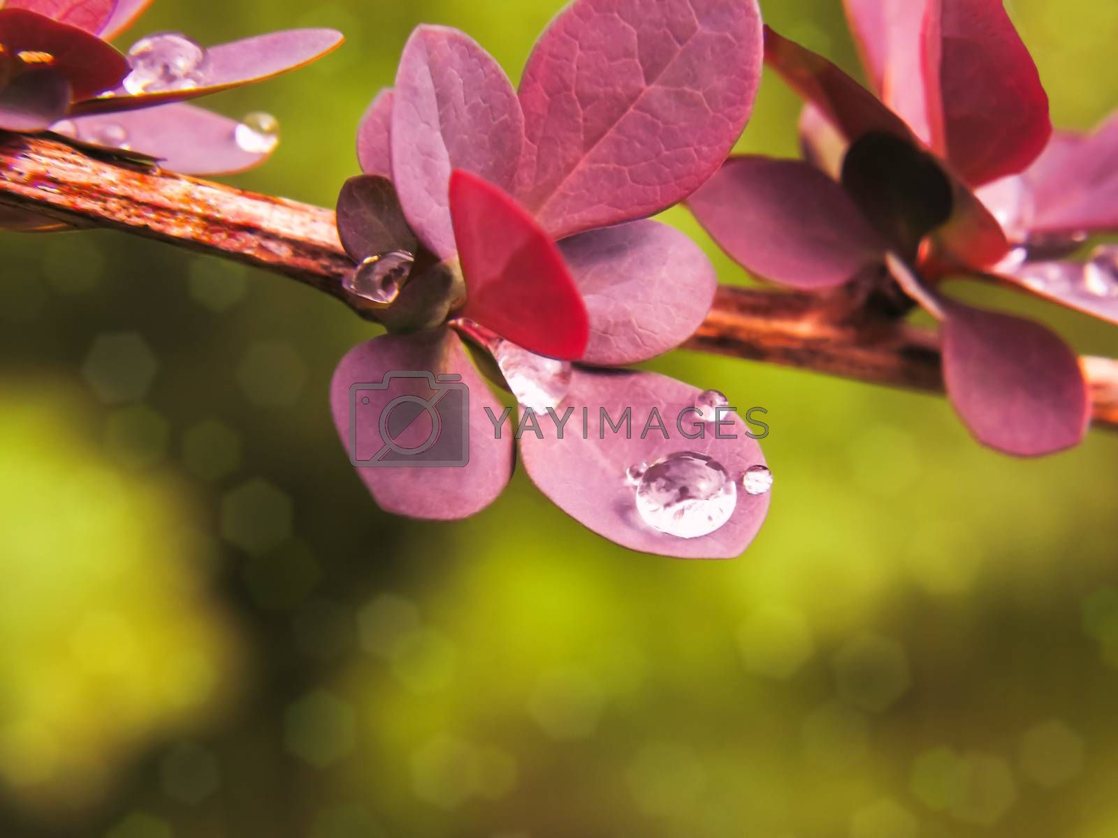 Water drops burgundy leaves of barberry close-up, selective focus, background by galsand
