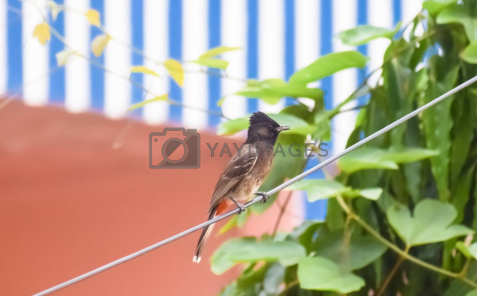 Vented Bulbul ( Pycnonotidae) or red ass bird, beautiful and very small passerine birds, spot in a electrical wire. Bulbul, Myna, Sparrow, Pigeon and Babbler are most common birds in Indian cities.