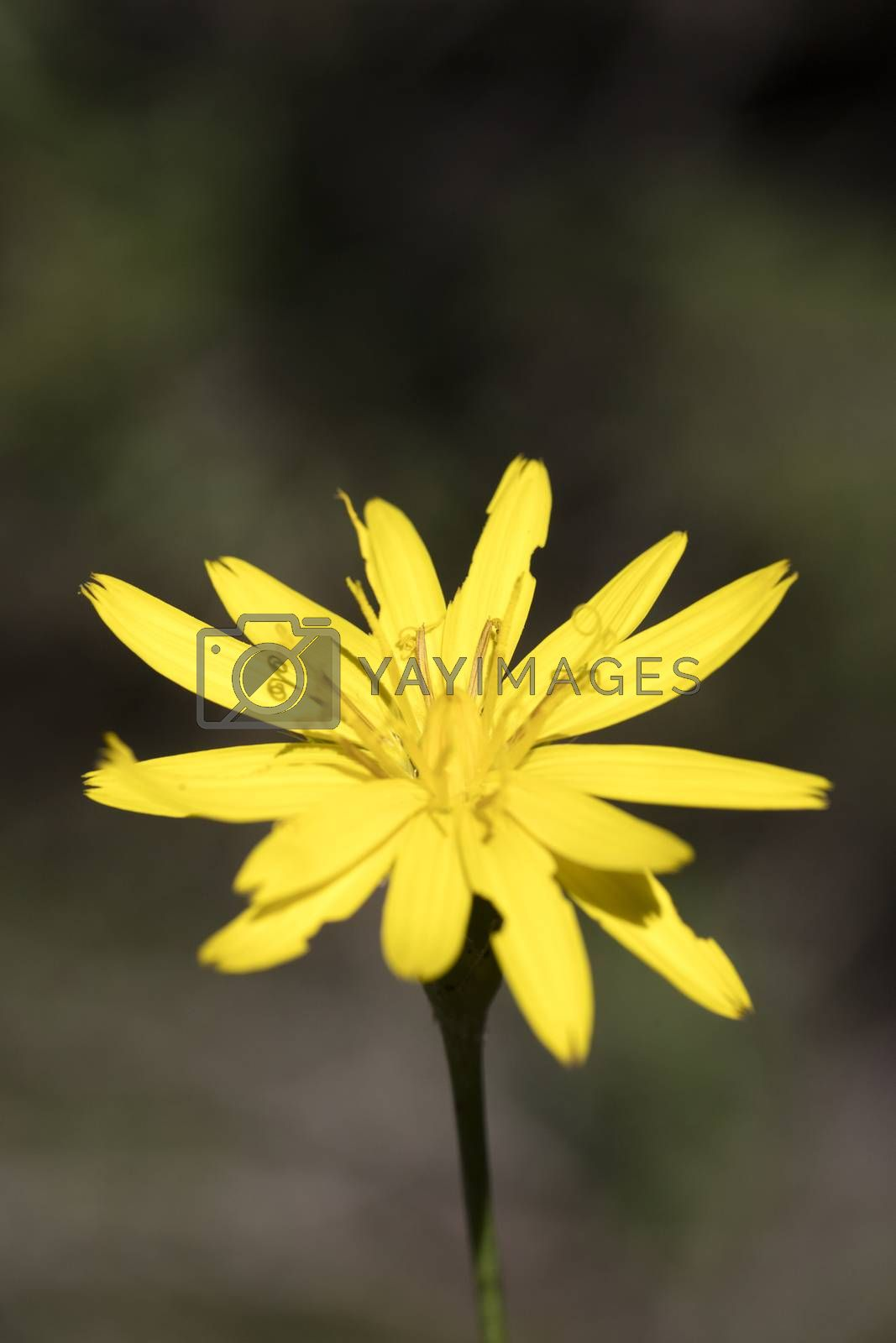 Wild yellow flowers macro Hypochaeris radicata asteraceae fifty  by BakalaeroZz Photography