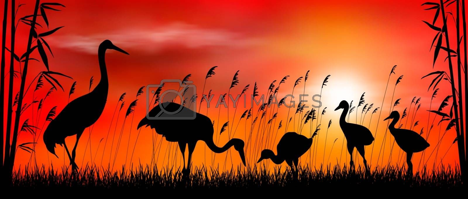 Birds cranes on sunset background. Evening, sky, sun. Birds on a background of grass, bamboo and reeds. Evening landscape. Wildlife scene.