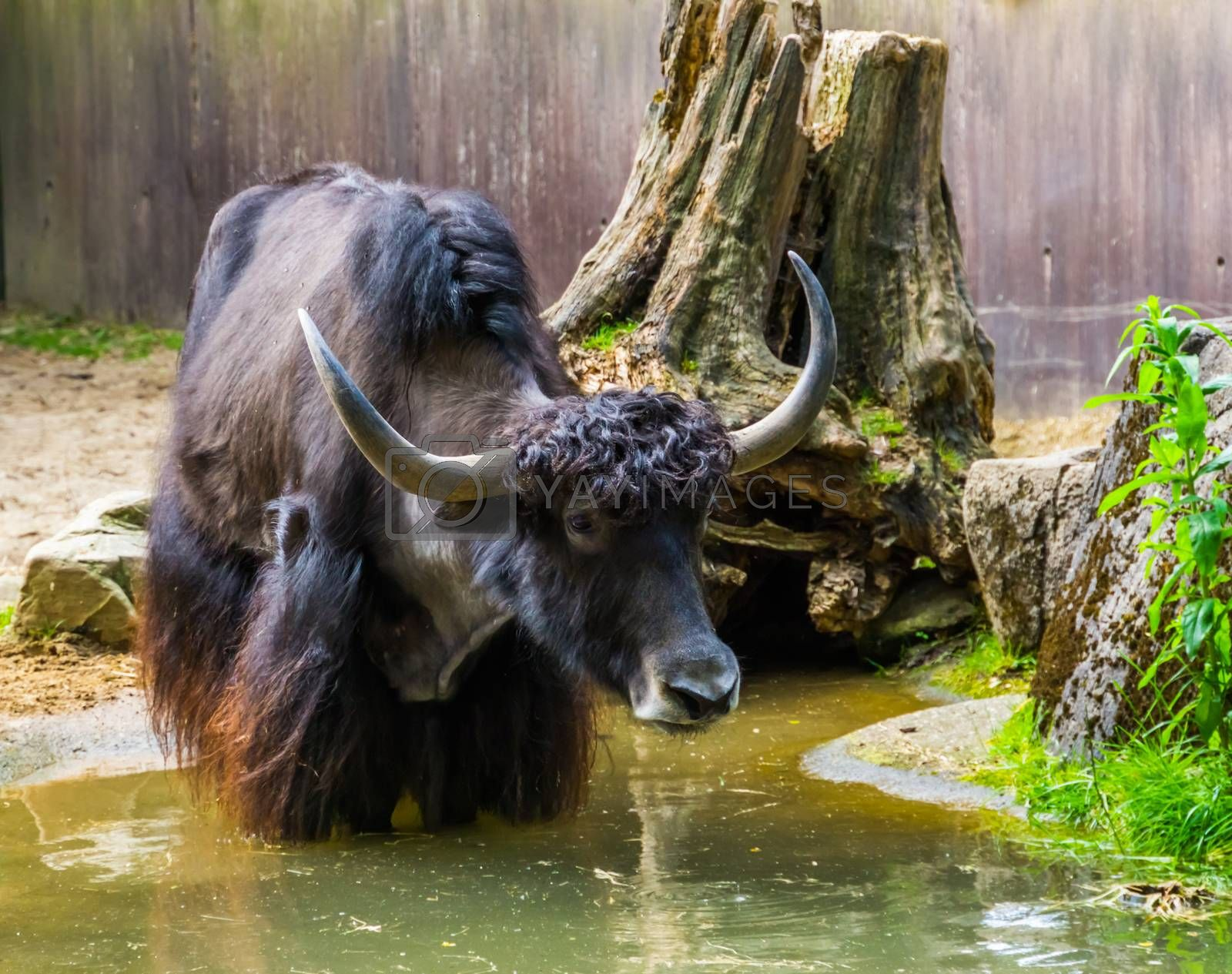 closeup of a wild yak taking a bath in a water puddle, tropical cattle specie from the himalaya mountains of Asia