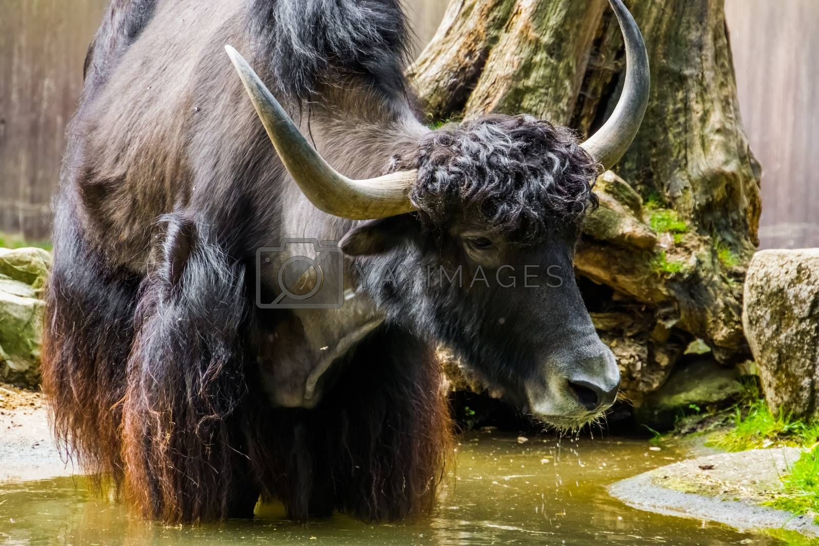 closeup of a wild yak standing in a water puddle, tropical cattle specie from the himalayas of Asia