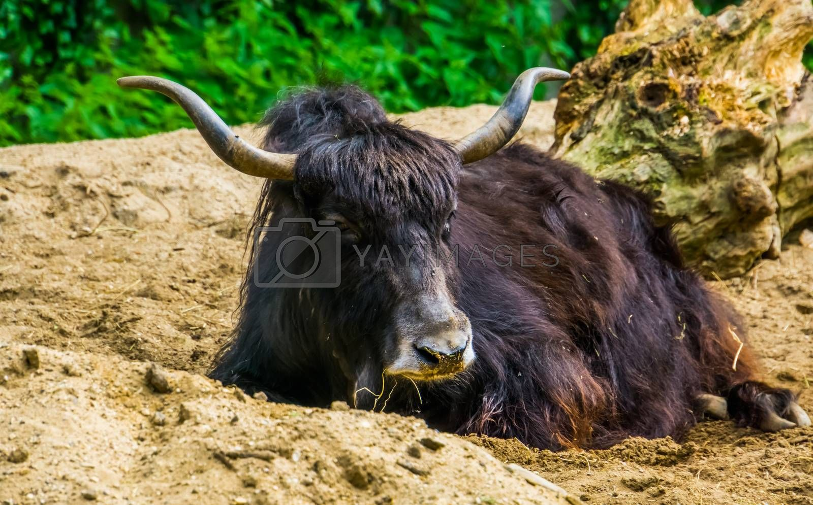 wild yak laying on the ground in closeup, tropical cattle specie from the himalayas of Asia