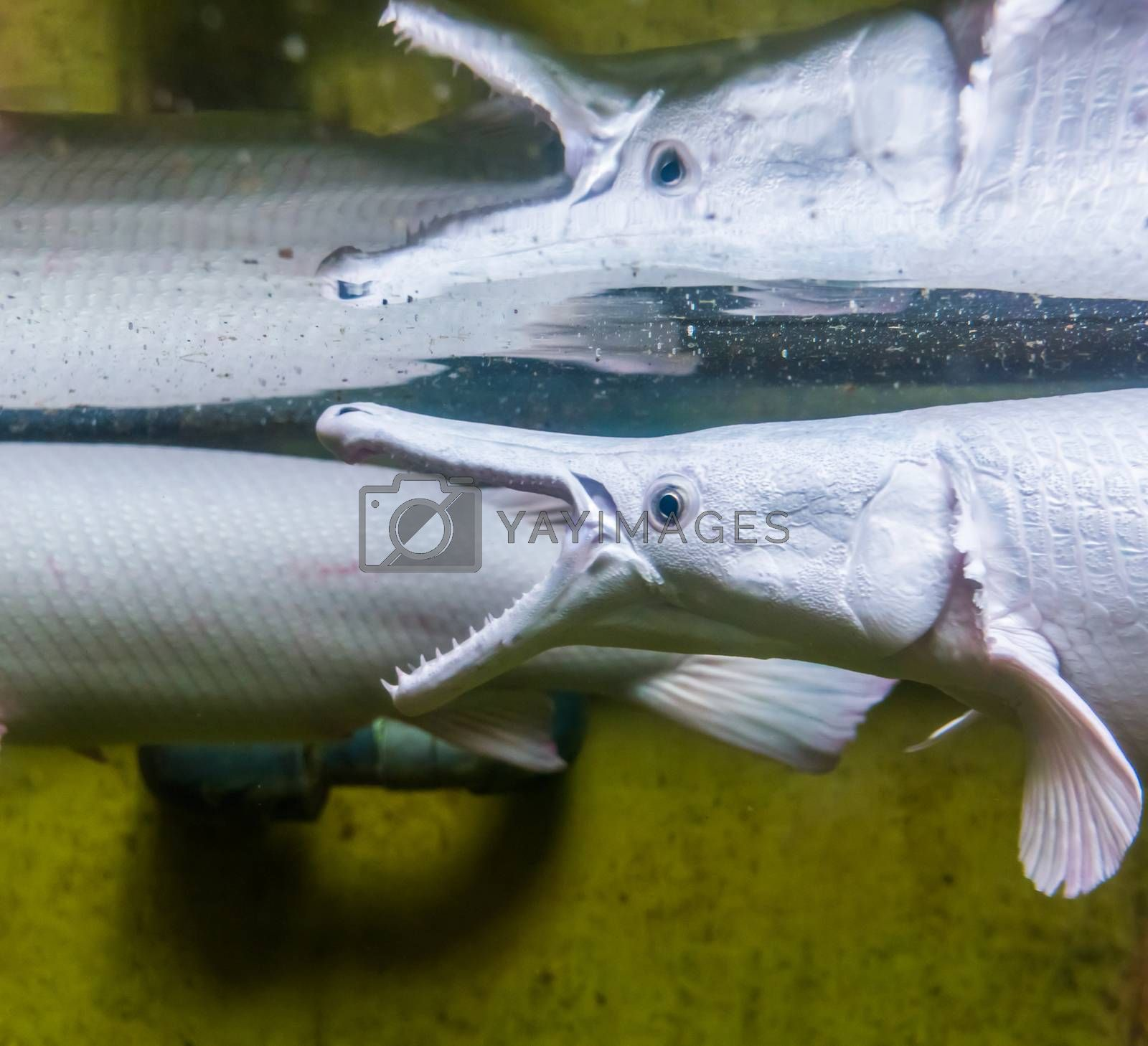 alligator gar showing its teeth and reflecting in the water, fish showing its sharp teeth, tropical specie from America