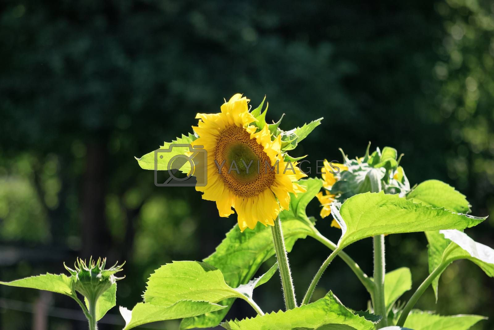 Beautiful sunflower plant on a sunny summer day.