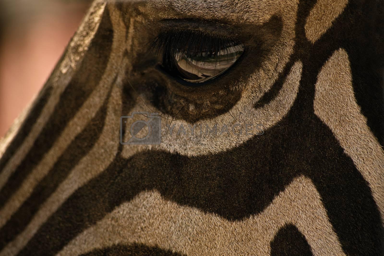 Close up shot of an eye of a zebra.