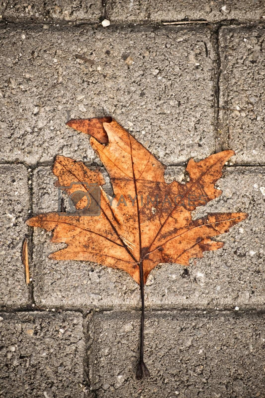 Withered maple leaf fallen over grey pavement concrete blocks.