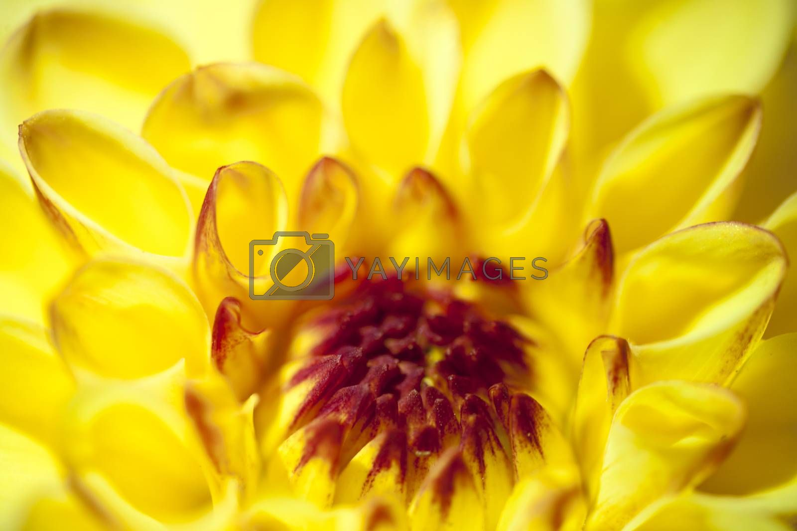 Chrysanthemum flower background macro high quality prints modern texture home decoration digital posters beautiful graphic abstract art smooth colorful design