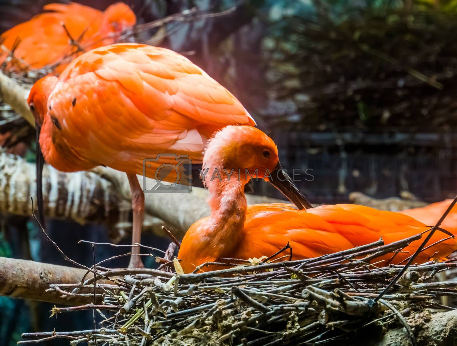 closeup of a red scarlet ibis sitting in its nest and preening its feathers, tropical bird portrait during breeding season