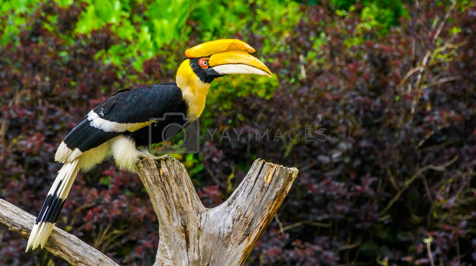 closeup portrait of a beautiful great indian hornbill, colorful tropical bird, Vulnerable animal specie from Asia