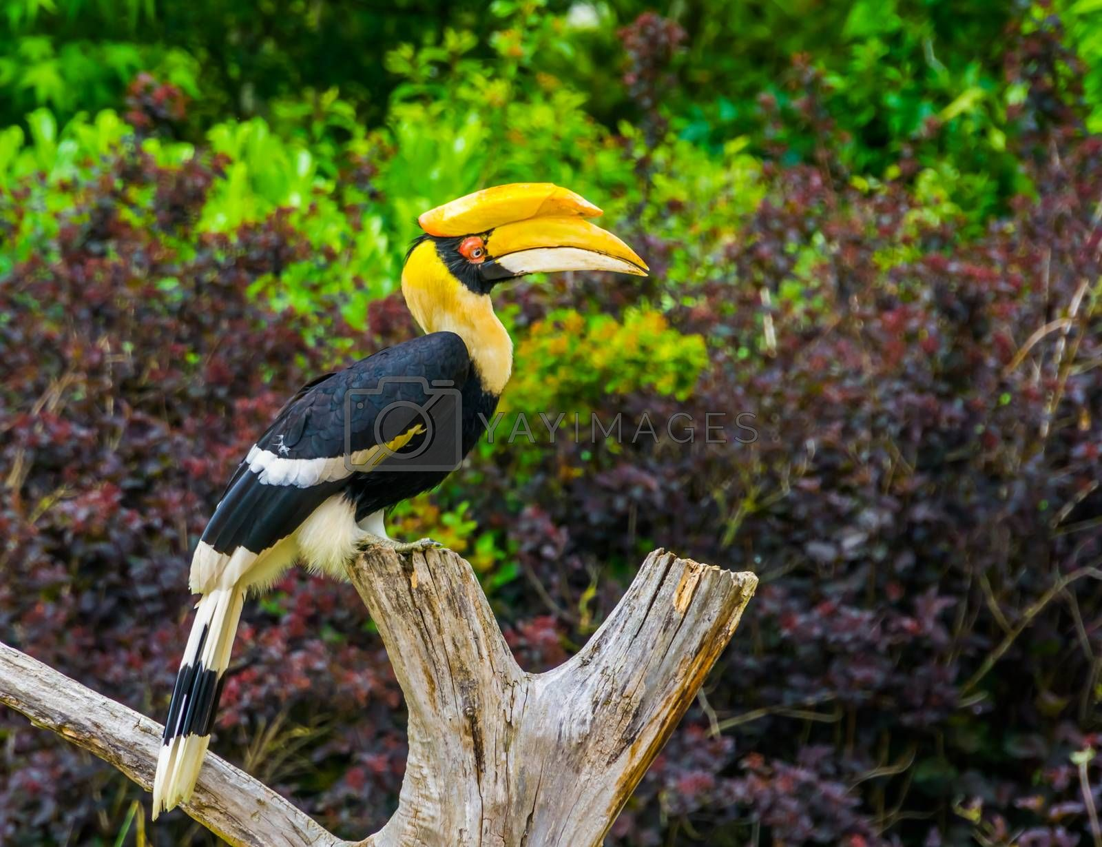 Great indian hornbill bird sitting on a tree top, tropical and vulnerable animal specie from Asia