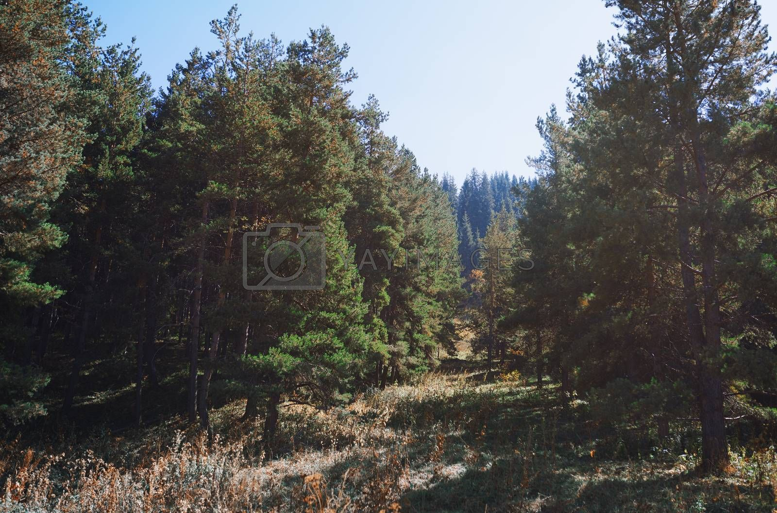 Pine trees in mountain forest by Novic