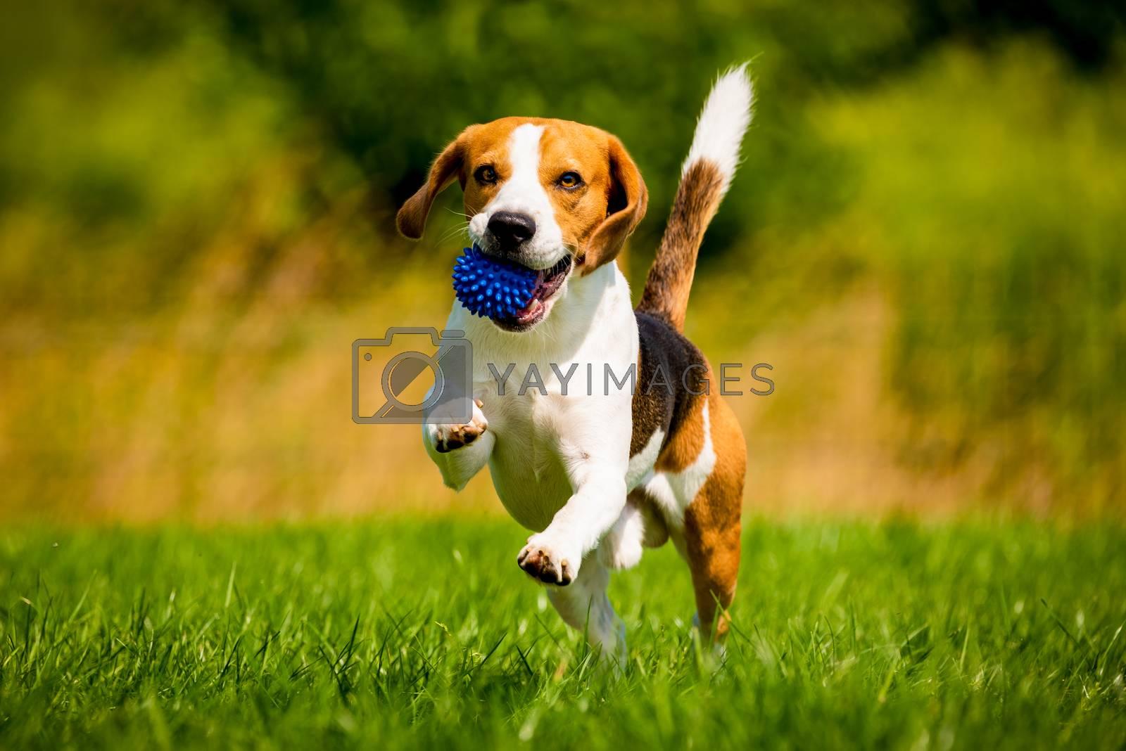 Beagle dog fun in garden outdoors run and jump with ball towards camera. Dog background.