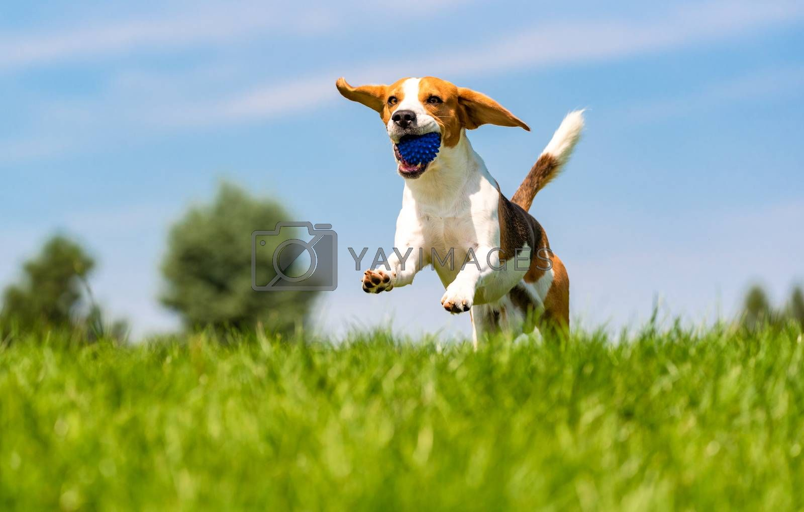 Beagle dog fun in garden outdoors run and jump with ball towards camera. Dog background, copy space