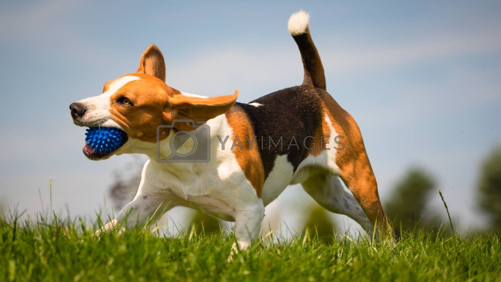 Beagle dog fun in park outdoors run and jump with ball towards camera. Dog background.