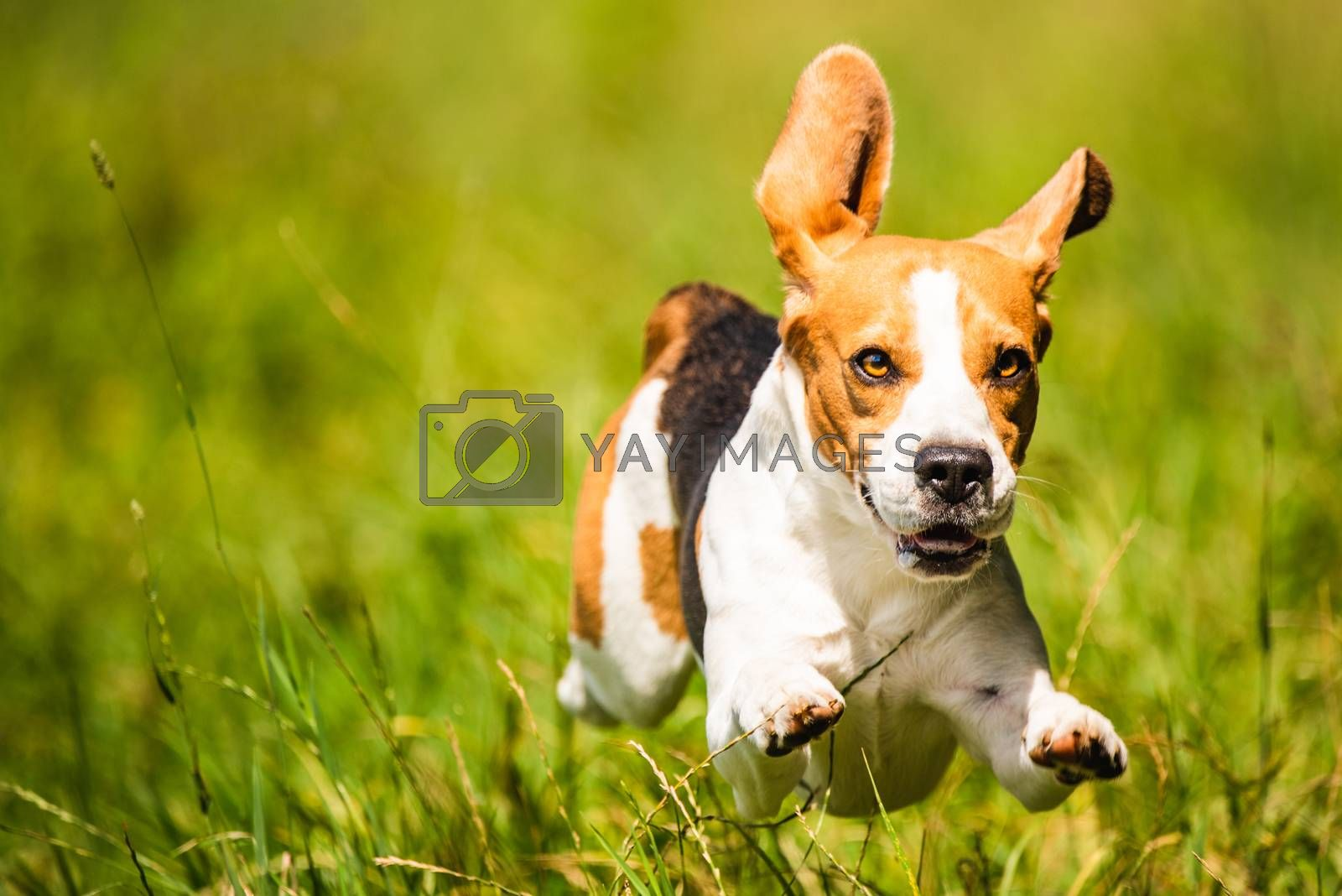 Beagle dog fun on field outdoors run and jump towards camera with feet and ears midair. Dog background.