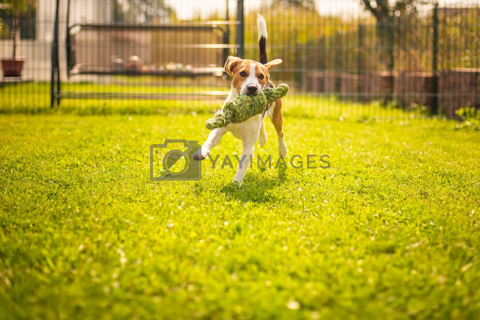 Beagle dog fun in garden outdoors run and jump with knot rope towards camera. Sunny summer day