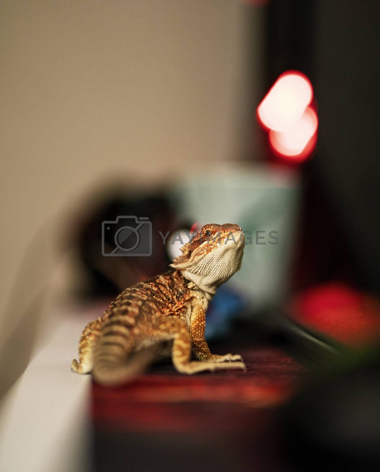 Young bearded dragon in focus with a blurry background, standing on a desk turned and looking at the camera.