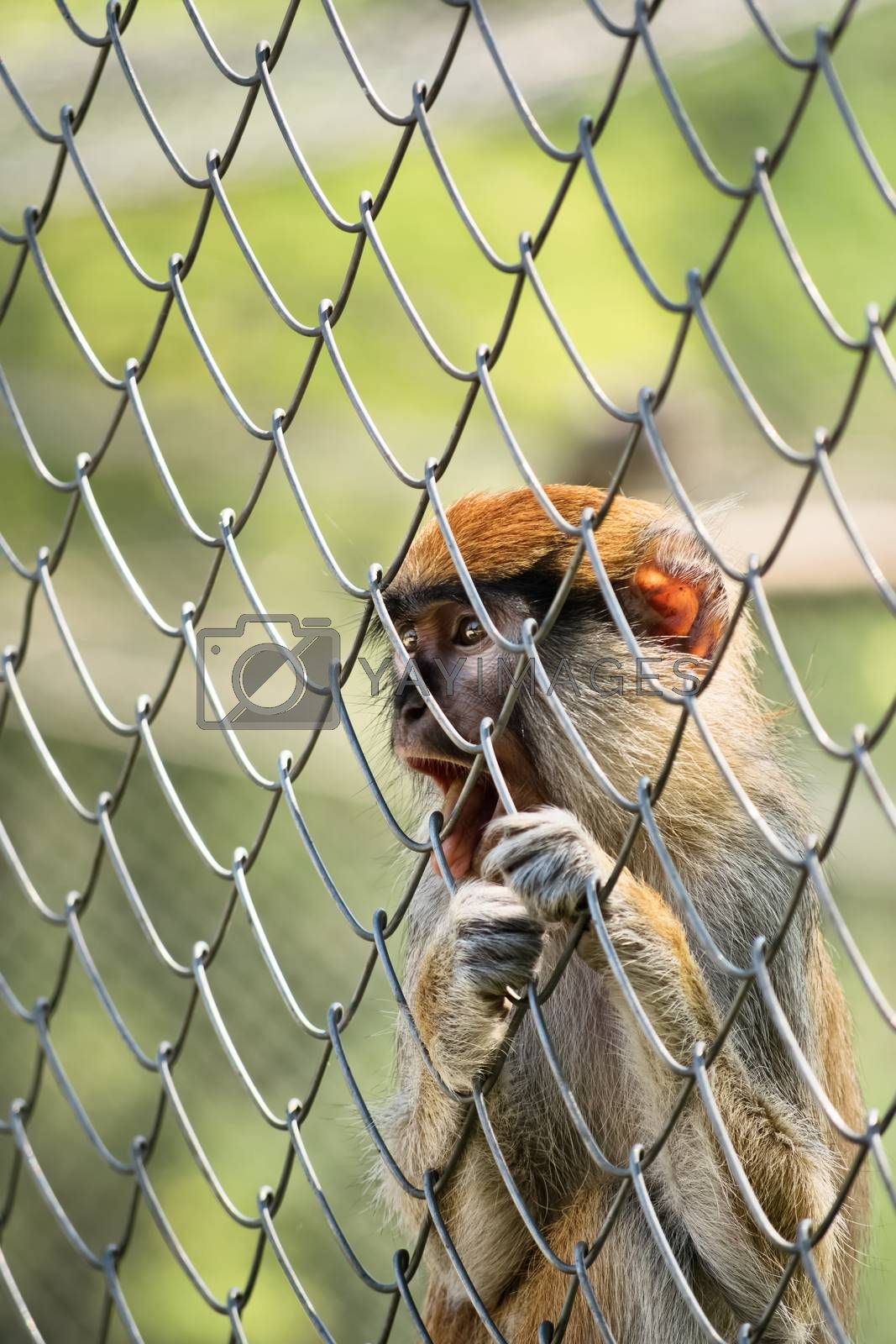 Close up shot of a small caged monkey holding the fence and looking far away.
