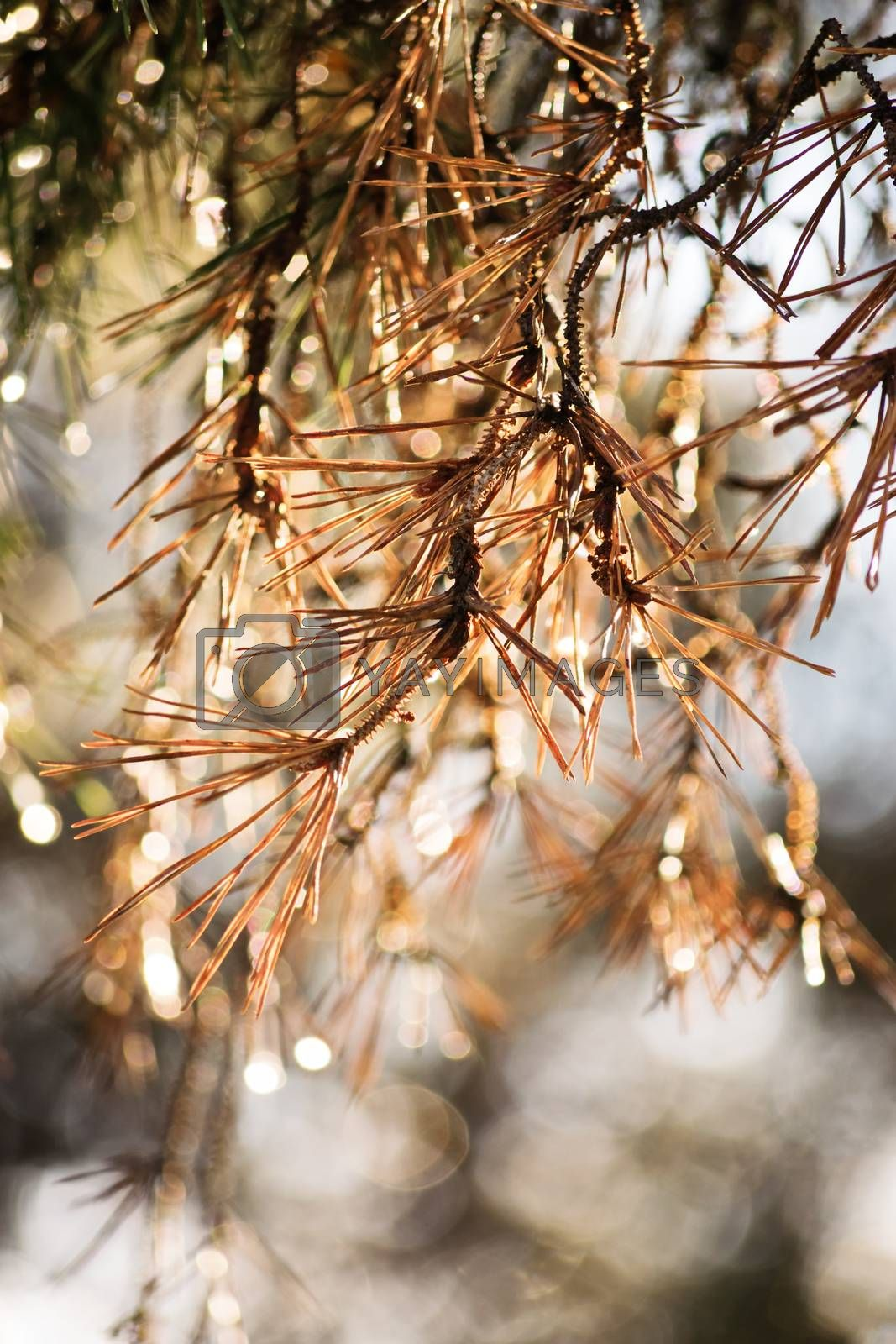 Close-up shot of withered pine tree needles.