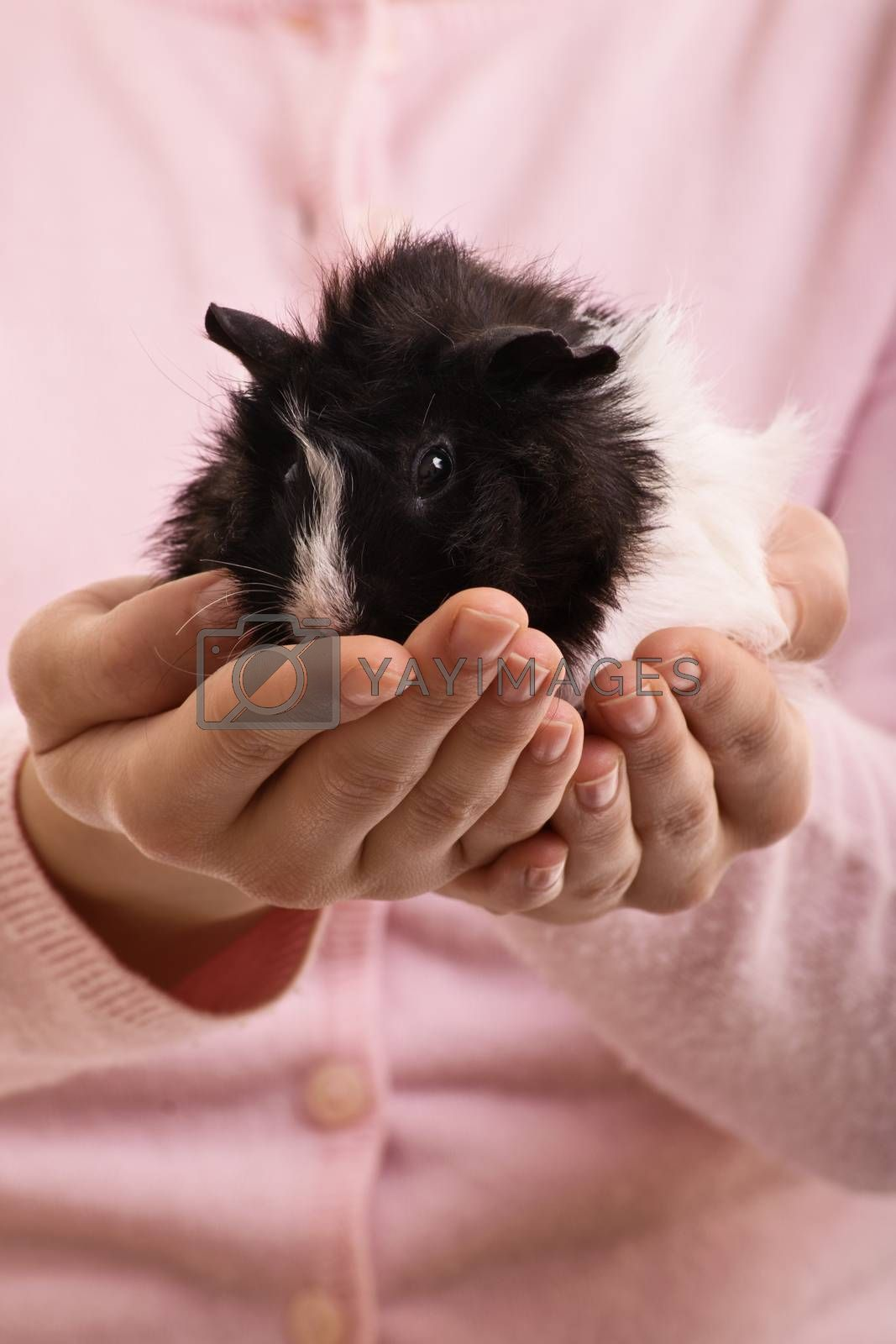 A close up shot of a girl holding her guinea pig.