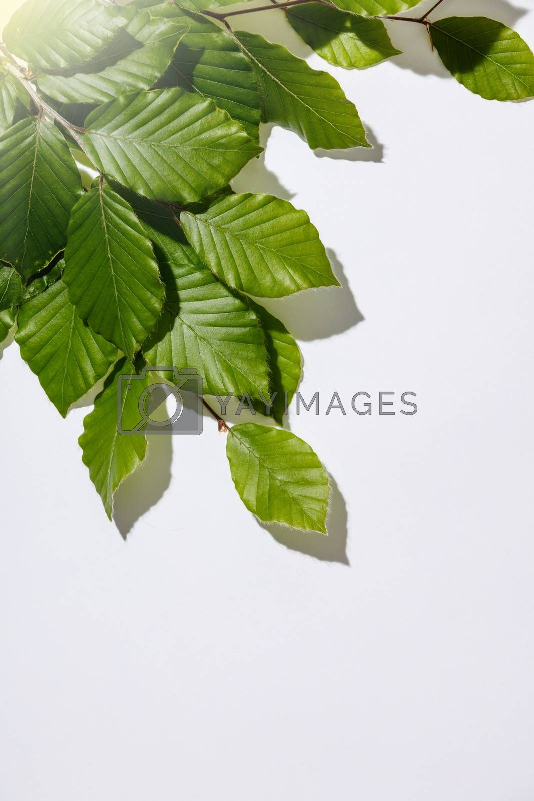 Tree branch with fresh leaves on white backgrount, flat lay, top view