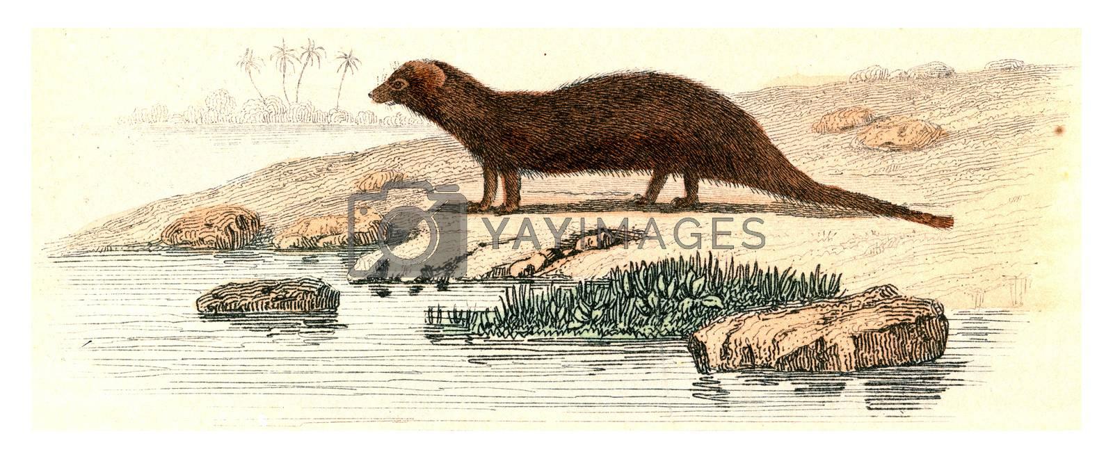 Mongoose, vintage engraved illustration. From Buffon Complete Work.