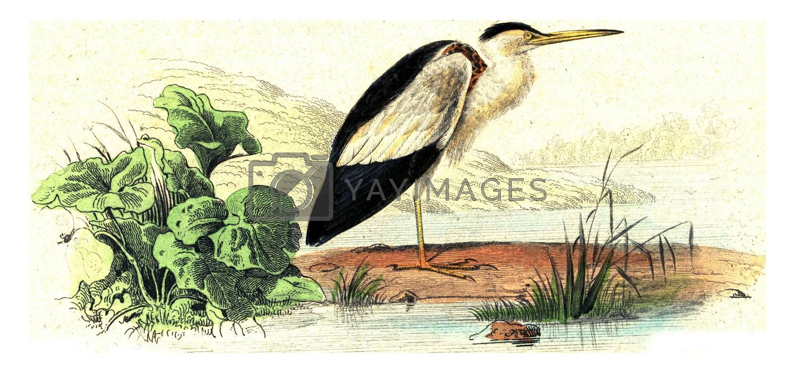 The bittern, vintage engraved illustration. From Buffon Complete Work.