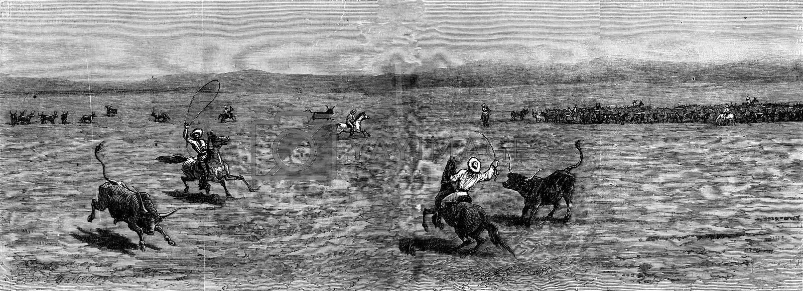 Herds in the distance. The lasso, vintage engraved illustration. Journal des Voyages, Travel Journal, (1879-80).