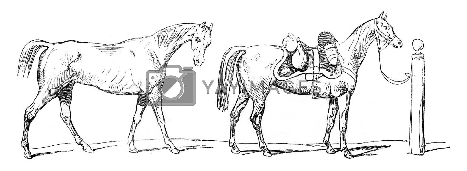Horse Warmblood foreign cavalry, vintage engraved illustration. Magasin Pittoresque 1845.