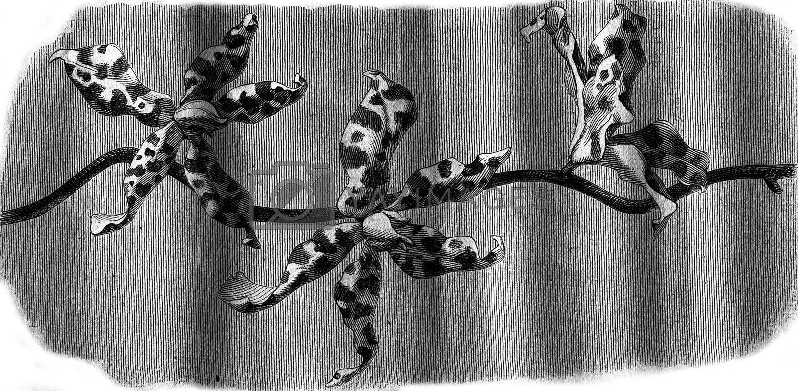 Orchid, Flowers Renanthera Lowii, vintage engraved illustration. Magasin Pittoresque 1876.