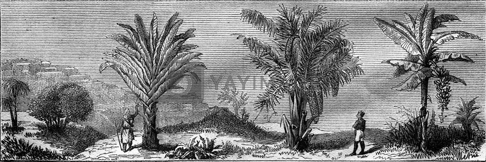 Model composition, the Travellers Tree, the Sago, the Banamer, vintage engraved illustration. Magasin Pittoresque 1877.