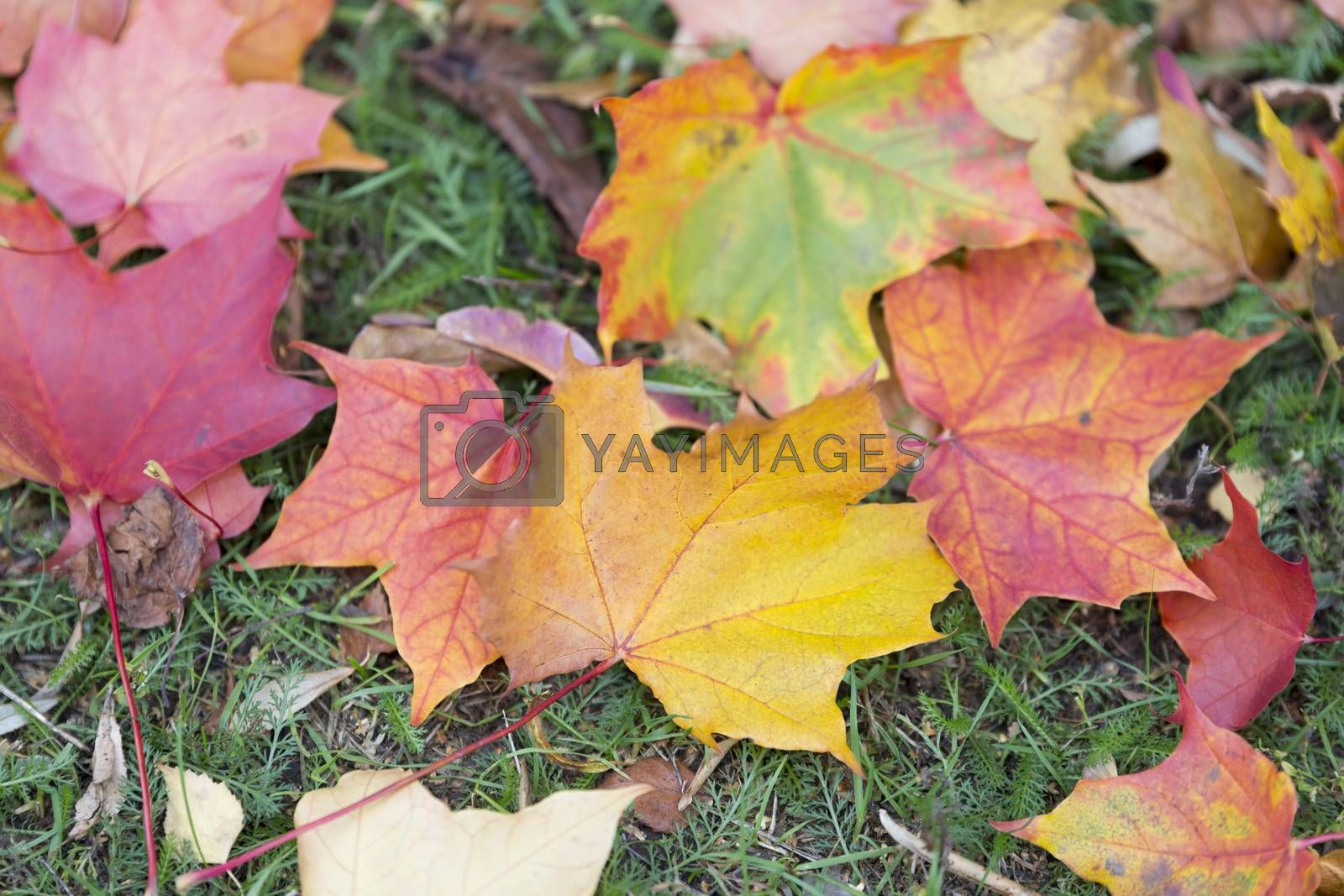 Autumn Maple Leaves on the Ground.