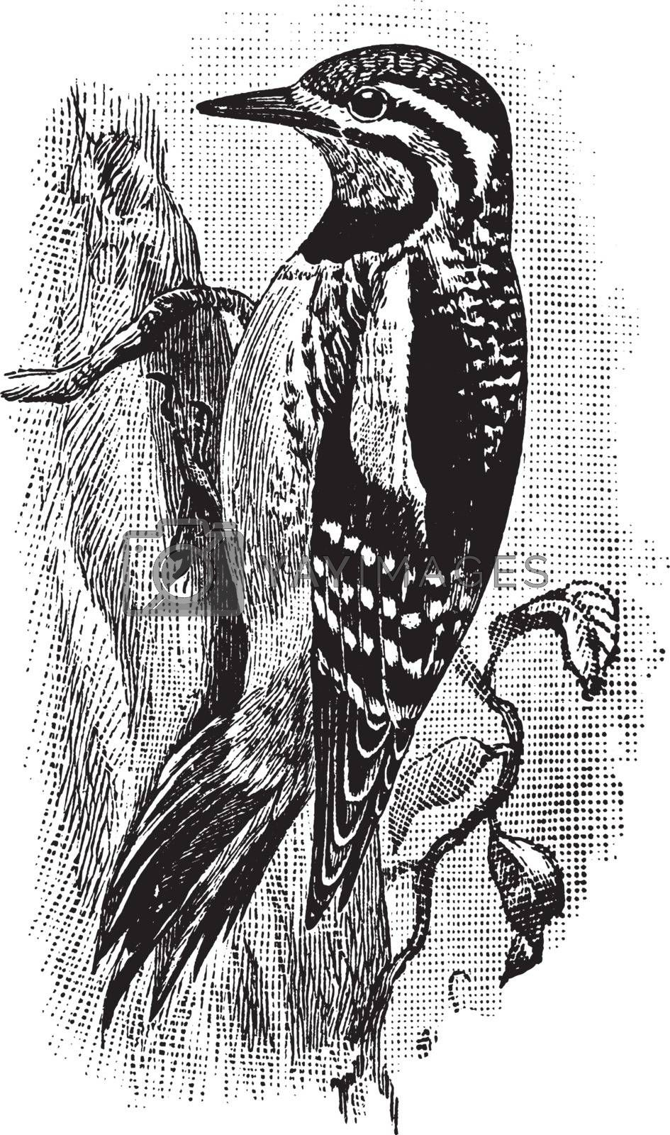 Yellow Bellied Sapsucker, vintage illustration. by Morphart