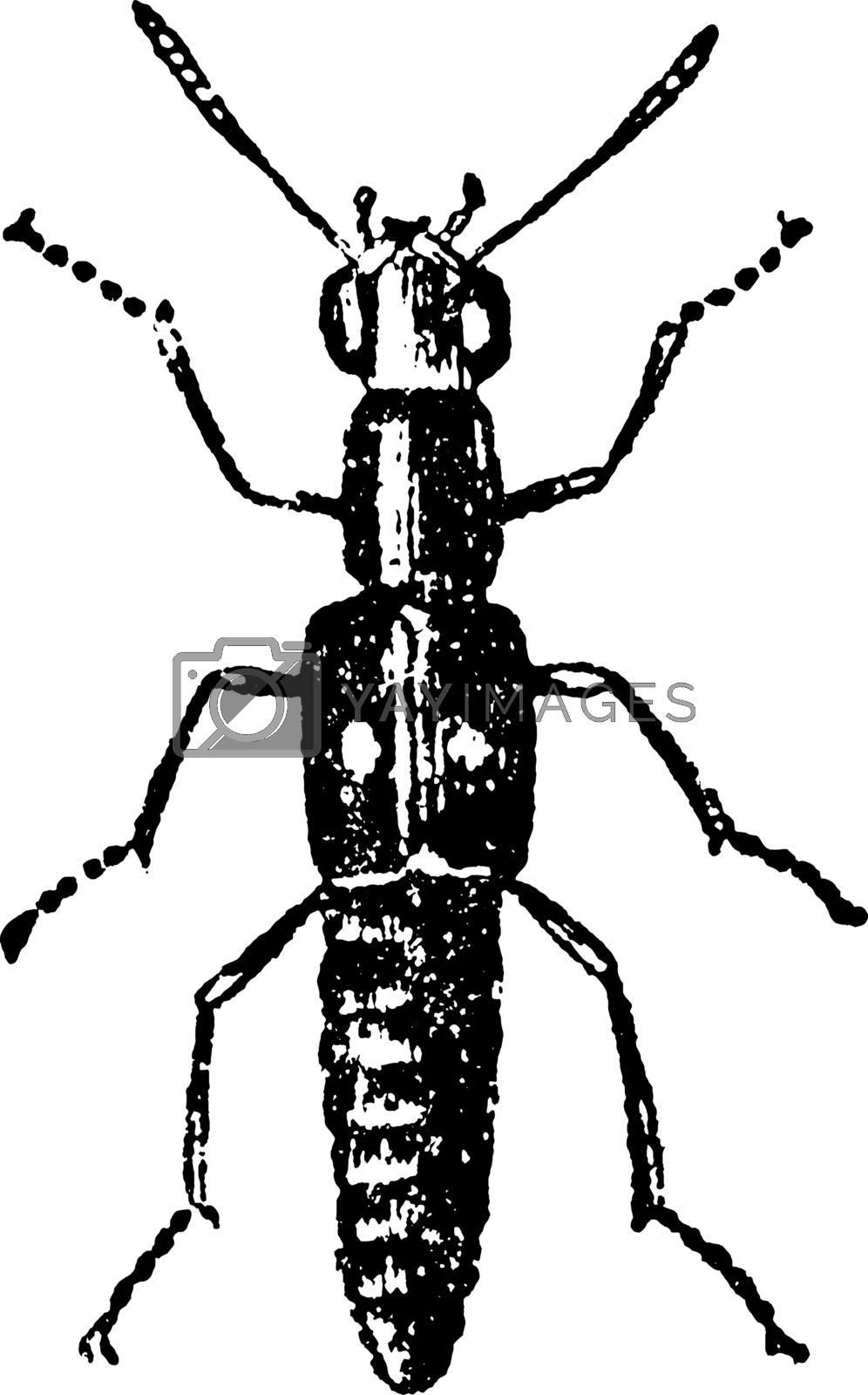 Brachelytra, vintage illustration. by Morphart