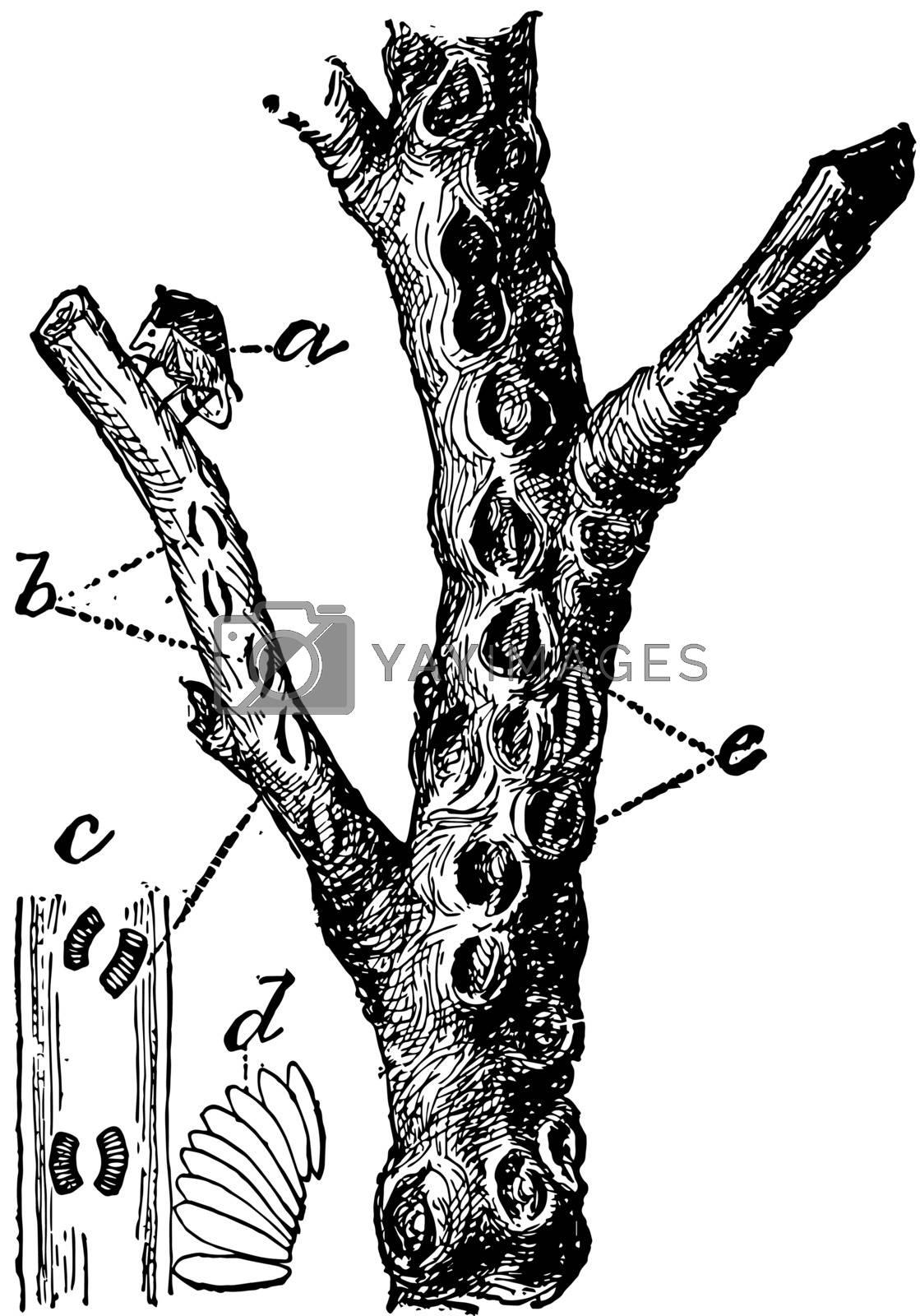 Buffalo Tree Hopper, vintage illustration. by Morphart