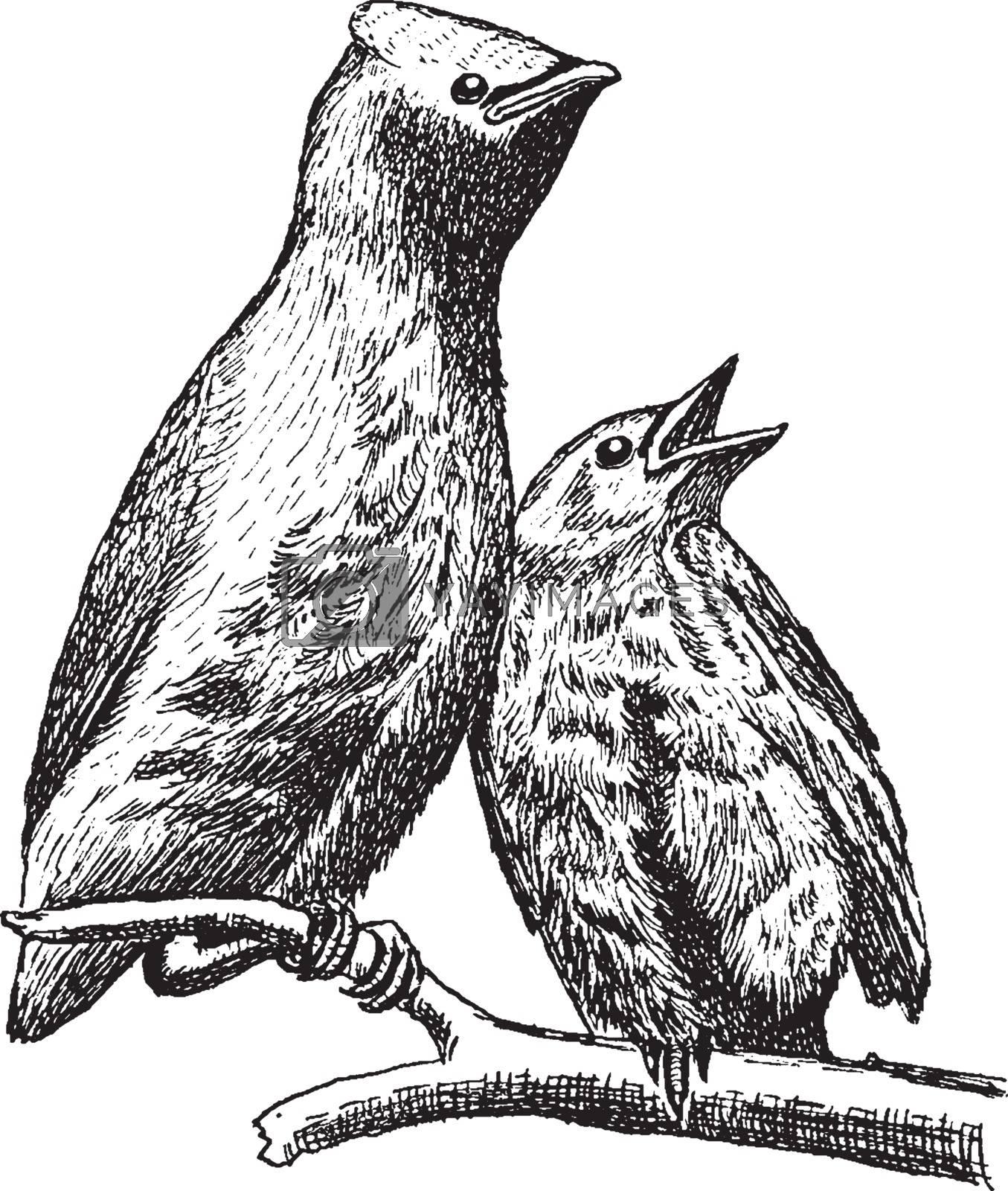 Cedar Waxwing, vintage illustration. by Morphart