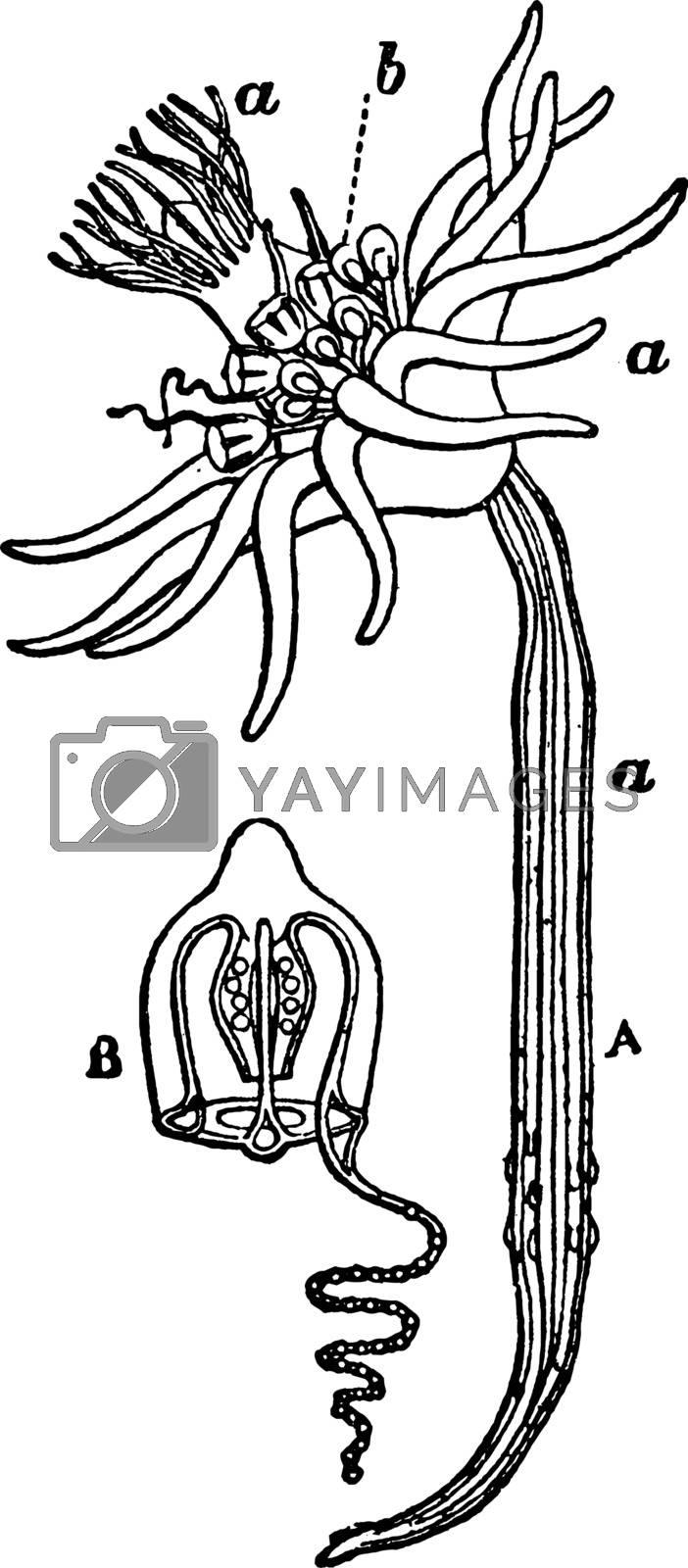 Corymorpha, vintage illustration. by Morphart
