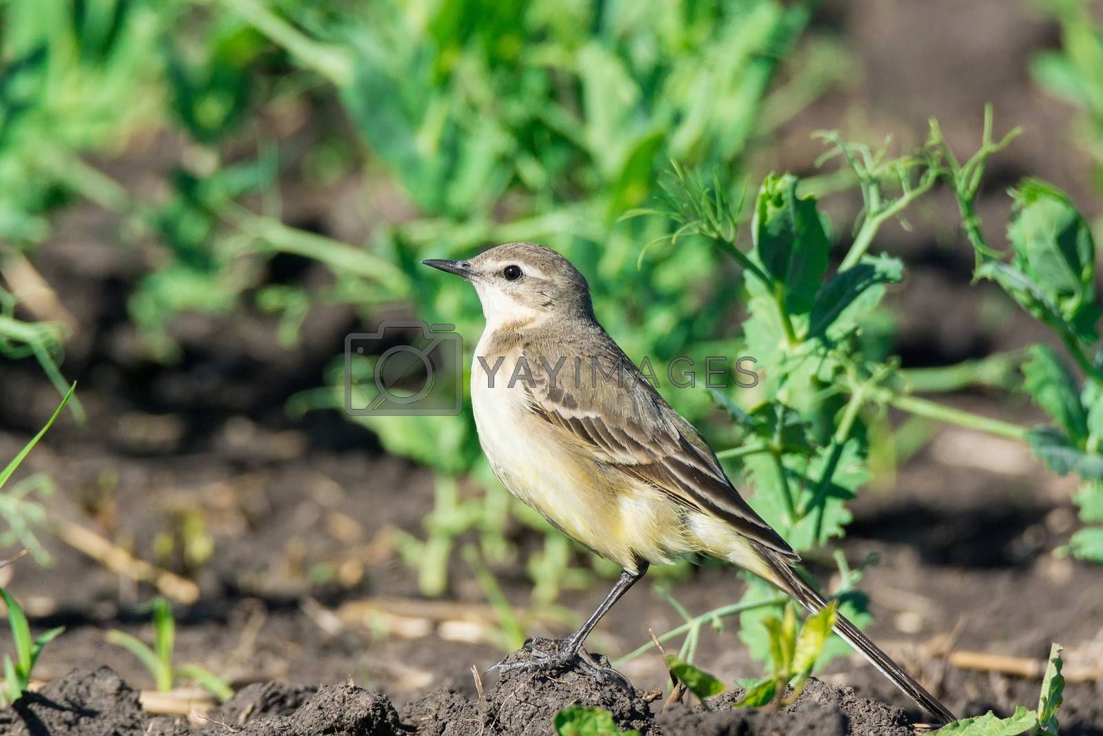 Motacilla flava stands on the ground next to the grass