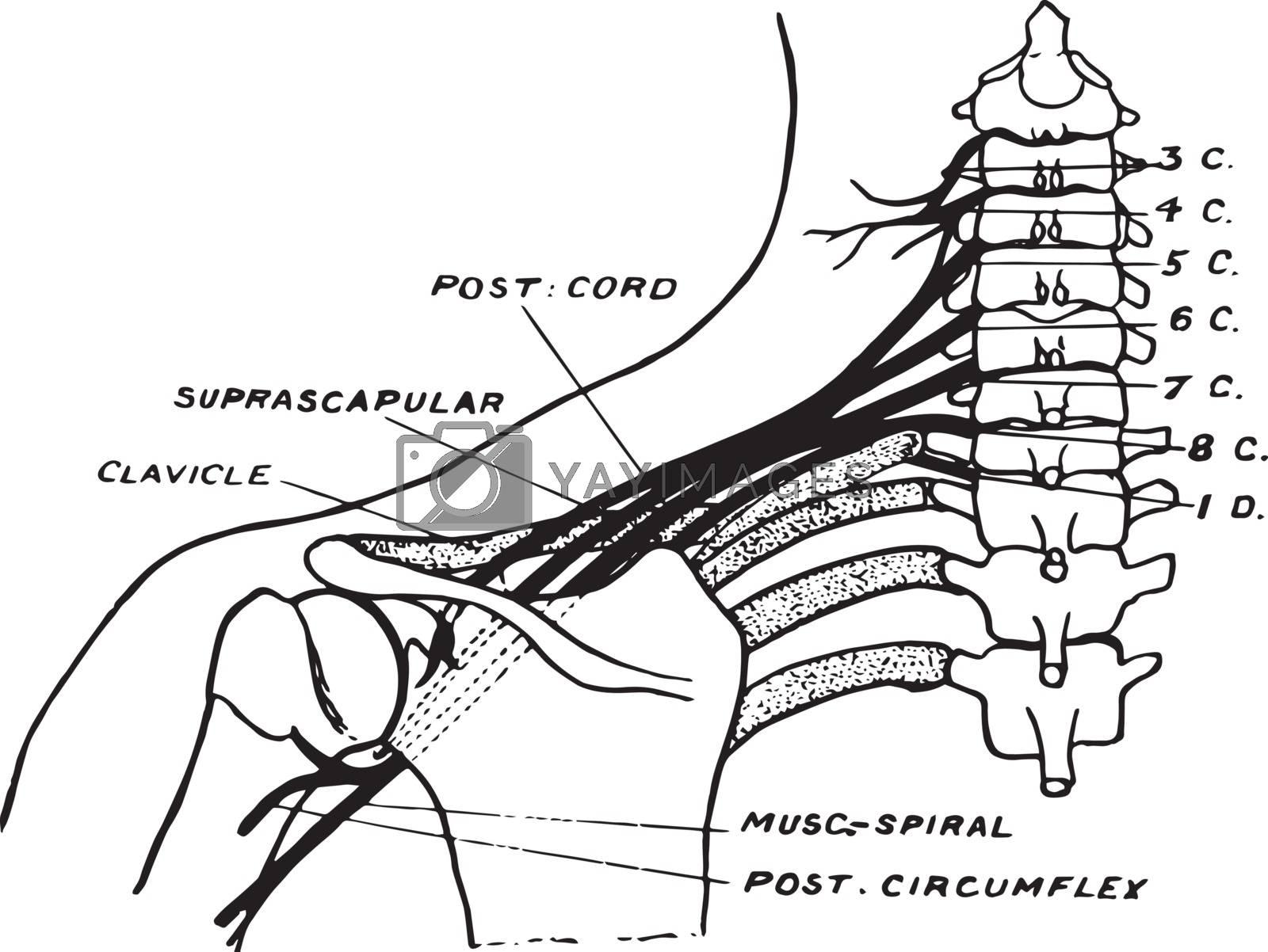 Brachial Plexus, vintage illustration. by Morphart