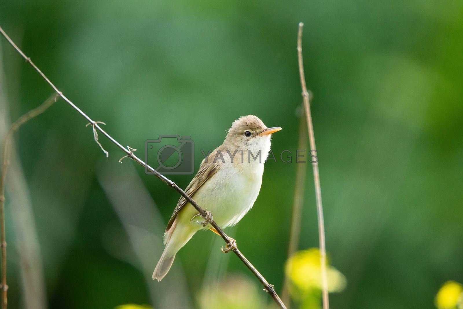 reed sits on a green branch and sings