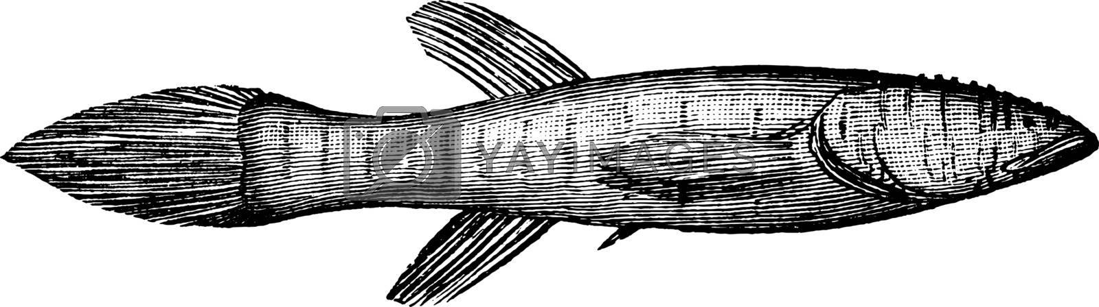Blindfish, vintage illustration. by Morphart