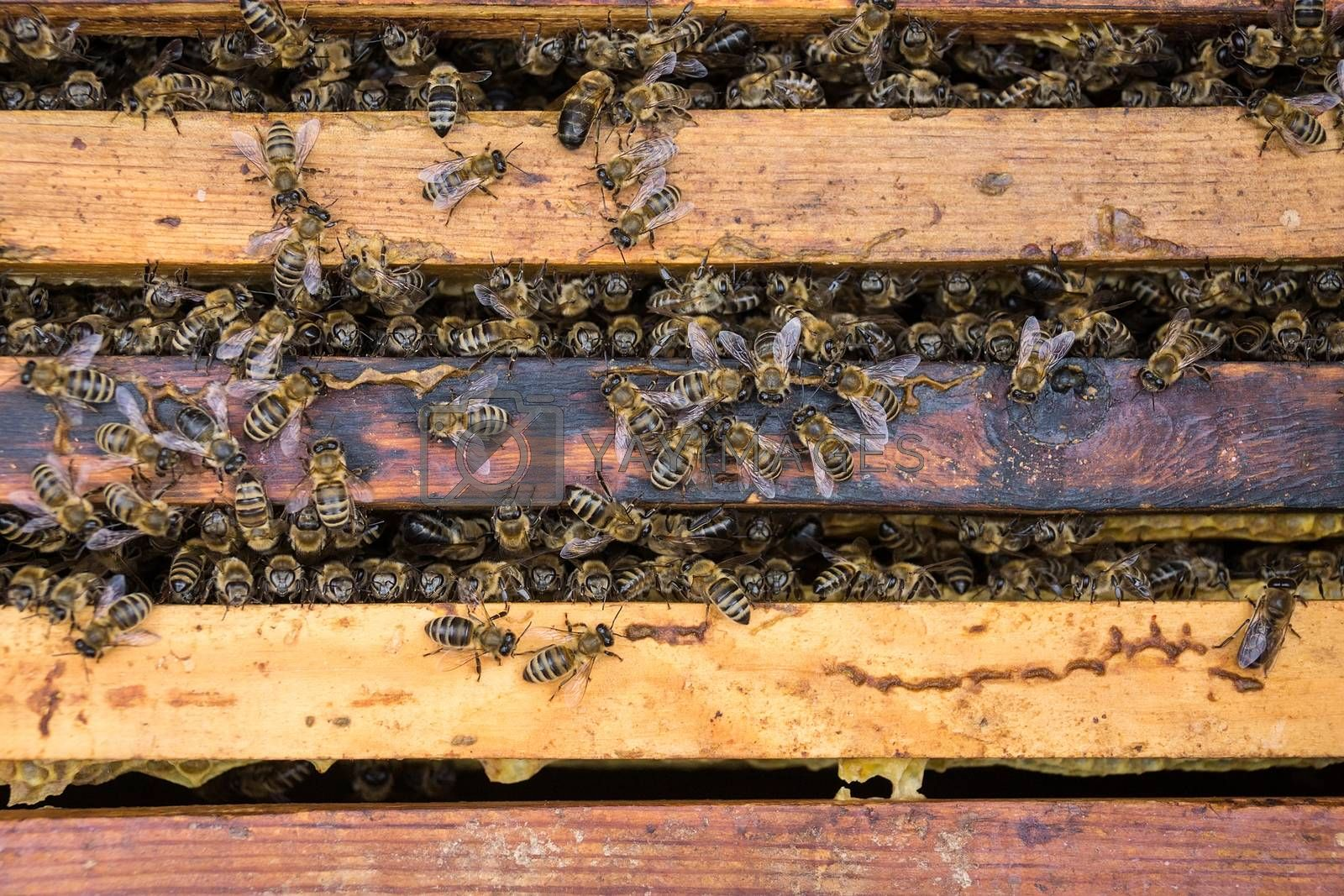 Bees are paying attention to the developing larva of the Queen Bee