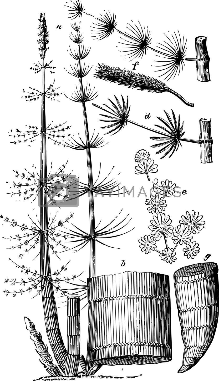 Calamites vintage illustration.  by Morphart