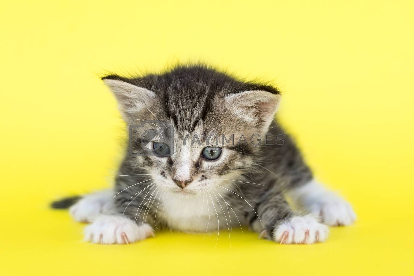 Little gray kitten on a yellow background