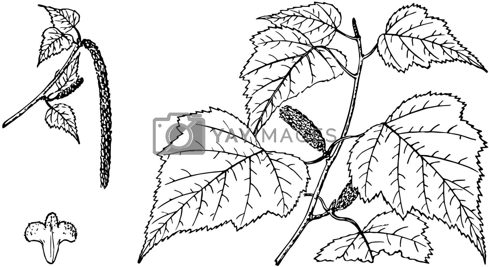 Branch of Gray Birch vintage illustration.  by Morphart