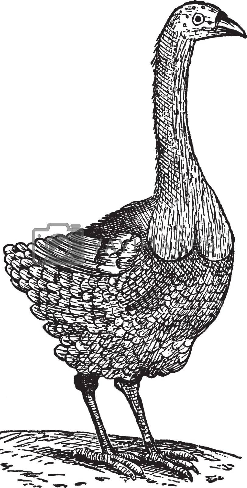 Pezophaps Solitarius, vintage illustration. by Morphart