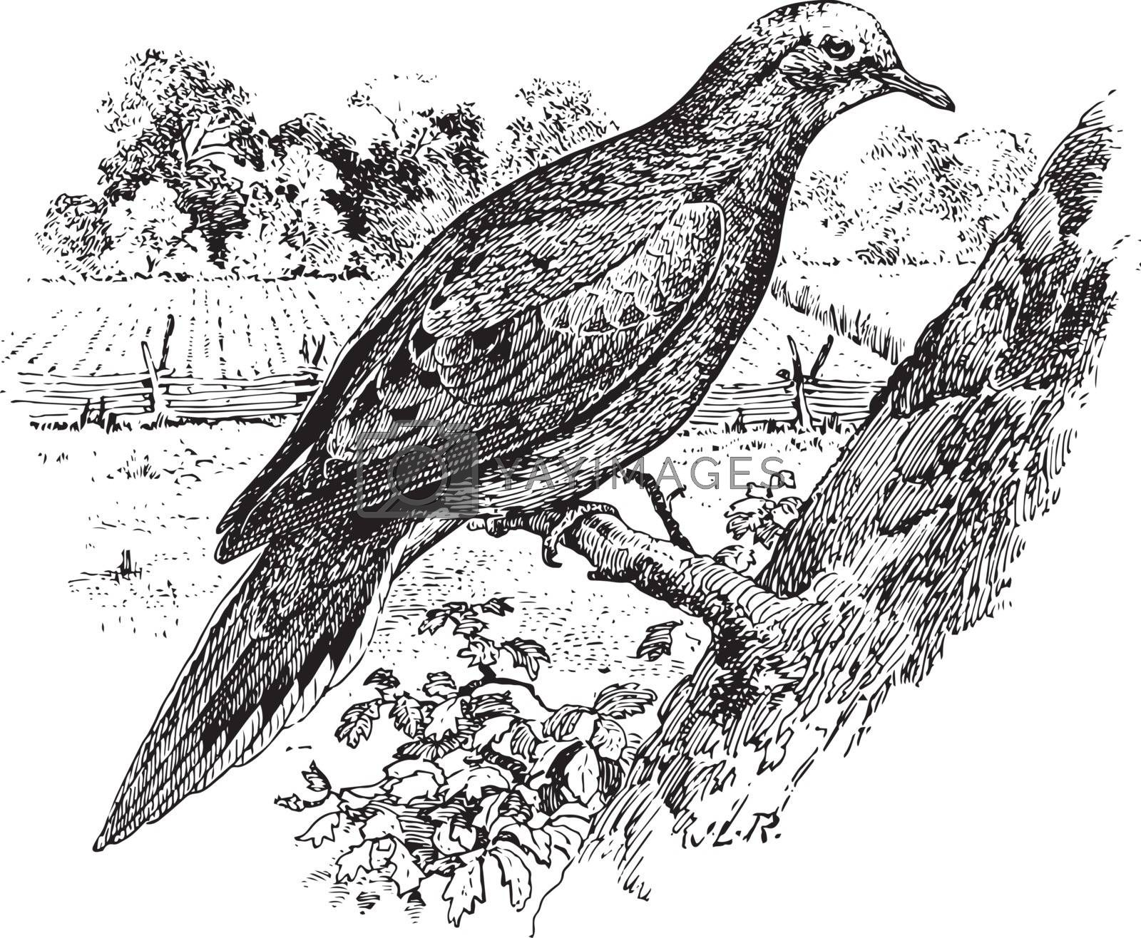 Mourning Dove, vintage illustration. by Morphart