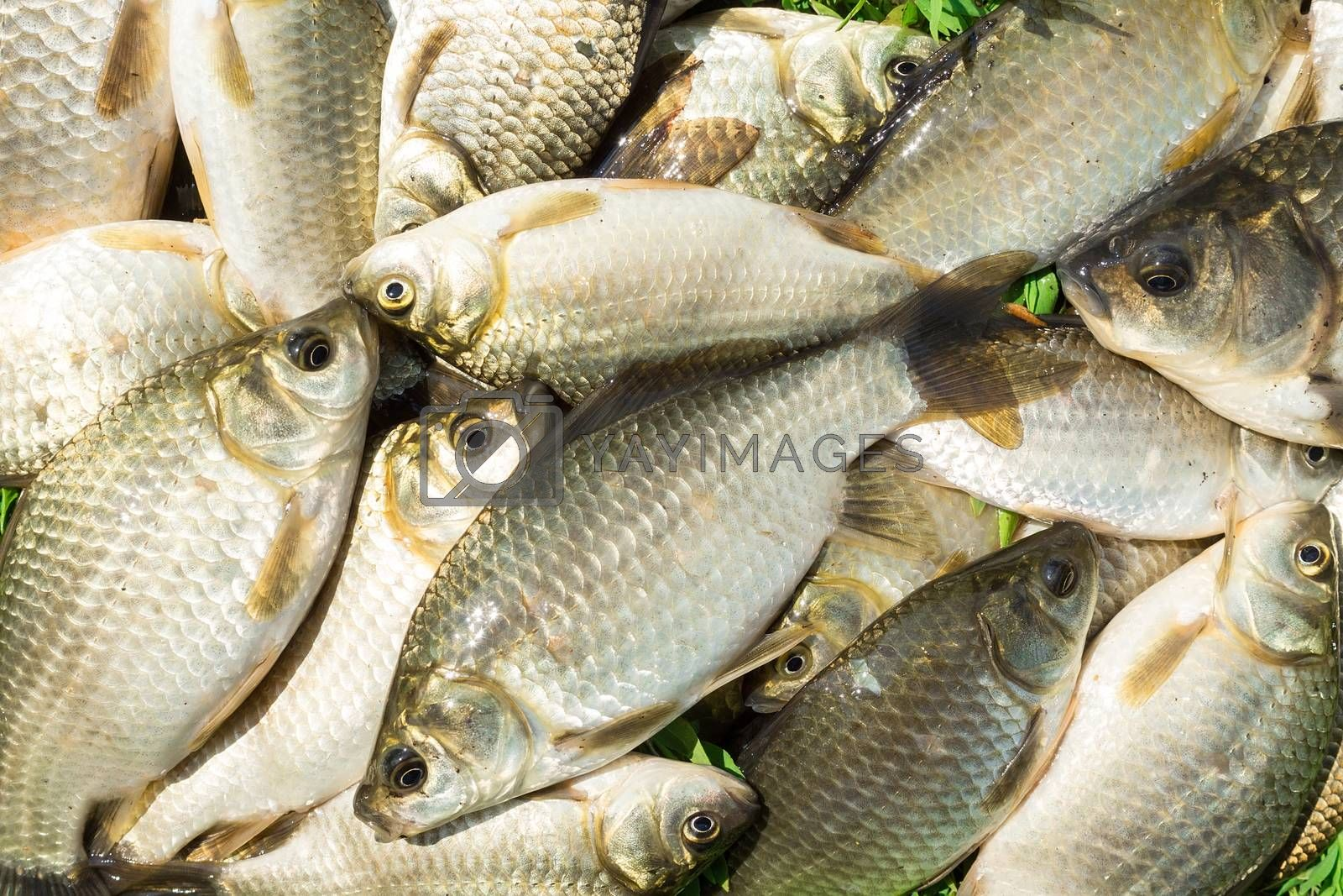 carp on a wooden background, good fishing