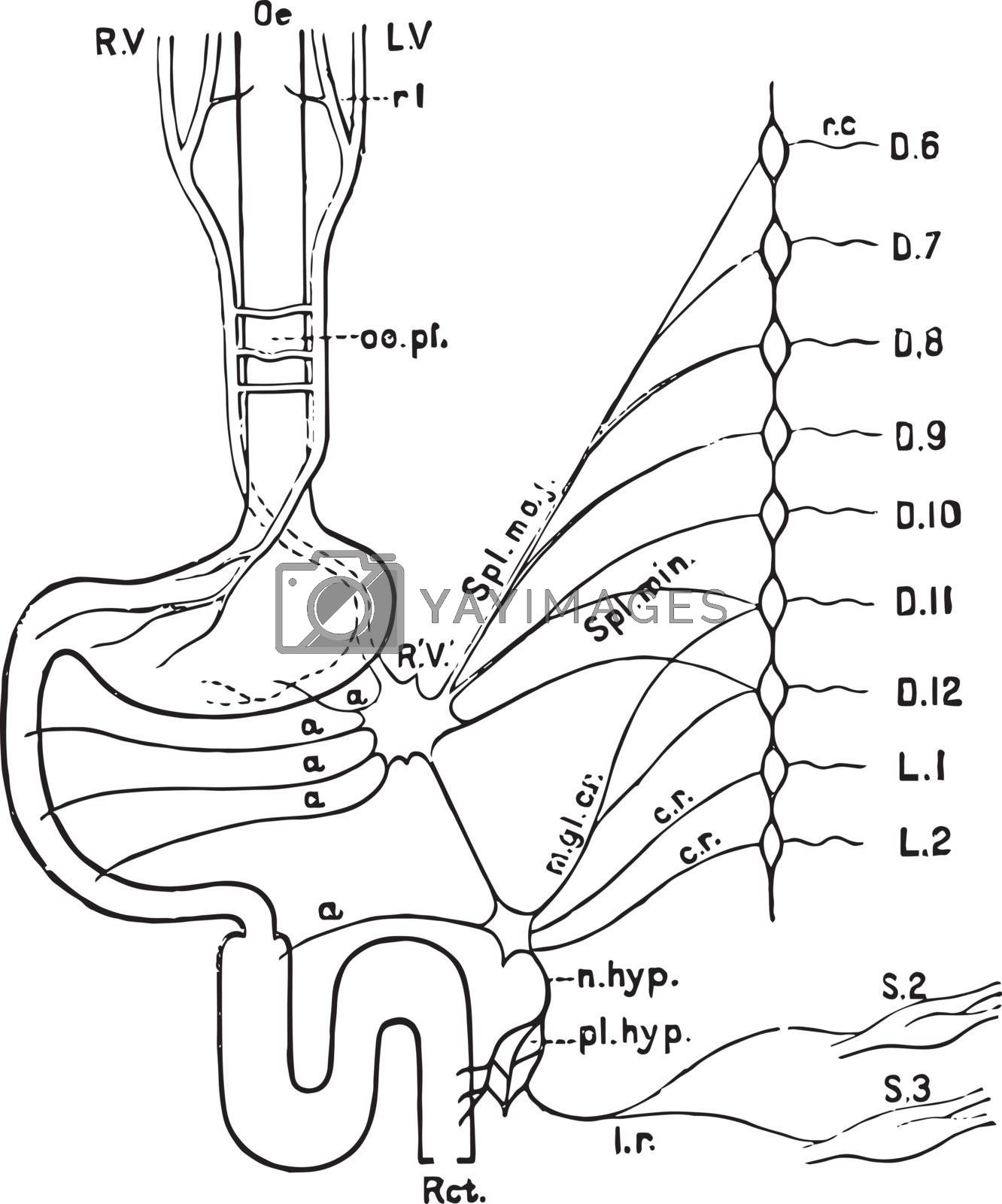 Nerves of the Alimentary Canal, vintage illustration. by Morphart